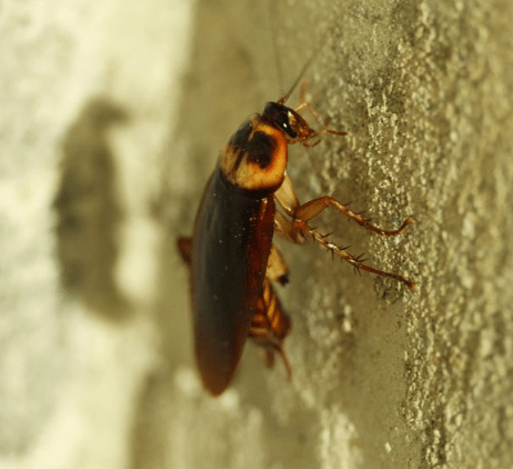 Facts about cockroaches which every home owner should know