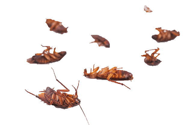 Died Cockroach Photo