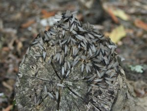 Termite wings Photo